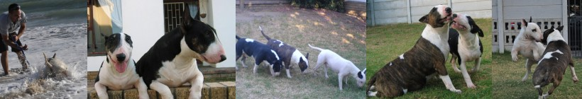 Zingora Bull Terriers - Cape Town - South Africa
